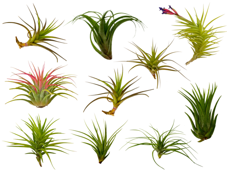 10-pack-air-plants_1024x1024