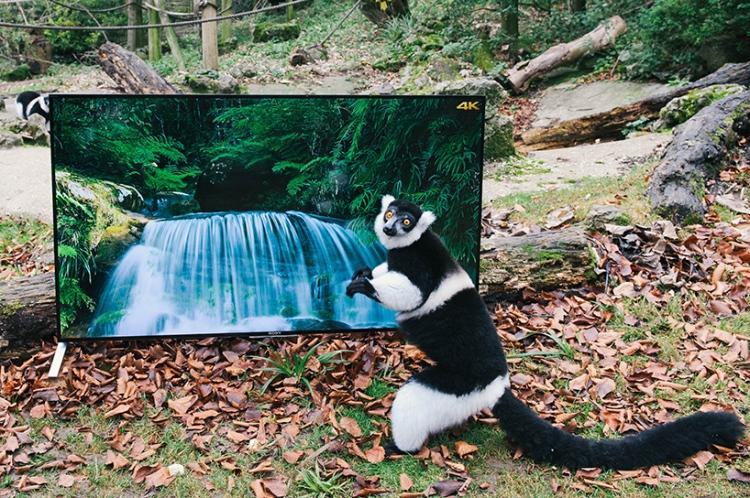 lemurs and langurs watching 4k tv // moss and fog