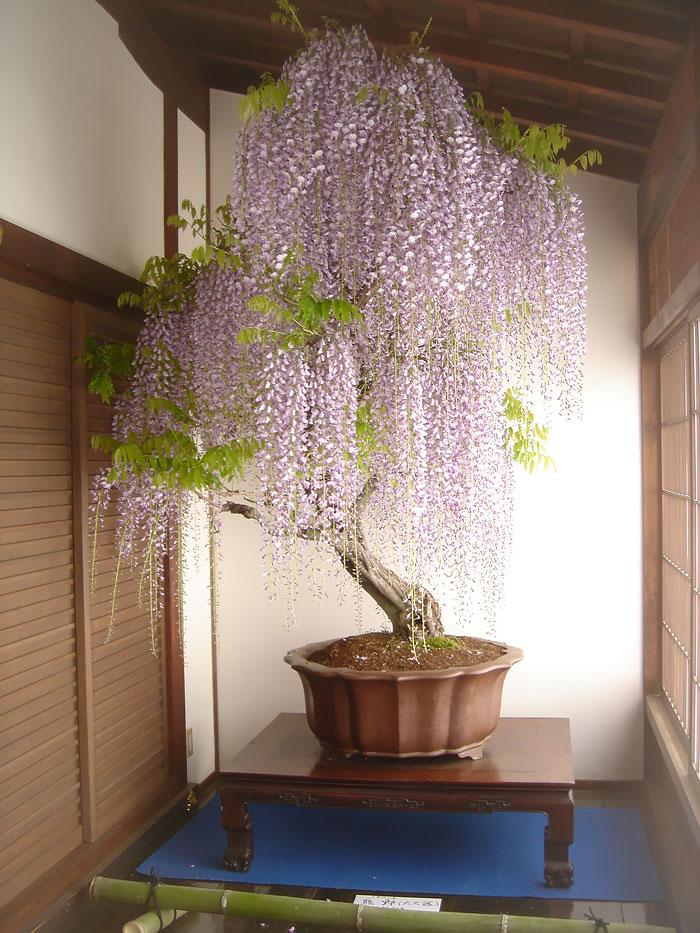 amazing-bonsai-trees-2-1-5710e789c26e6__700