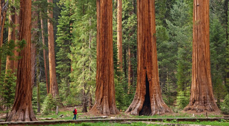 Tourist admiring the Giant Sequoia trees (Sequoiadendron giganteum), hiking on the Big Trees trail, Round Meadow, Sequoia National Park, Sierra Nevada, California, United States of America, North America