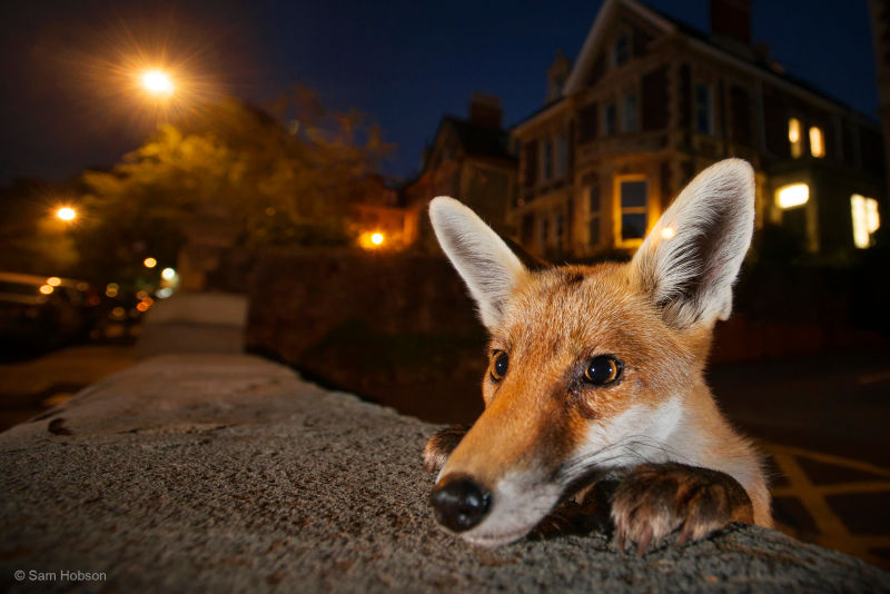 fox peering over wall