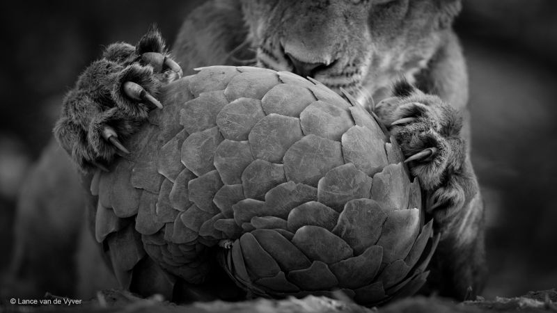 Lion playing with pangolin