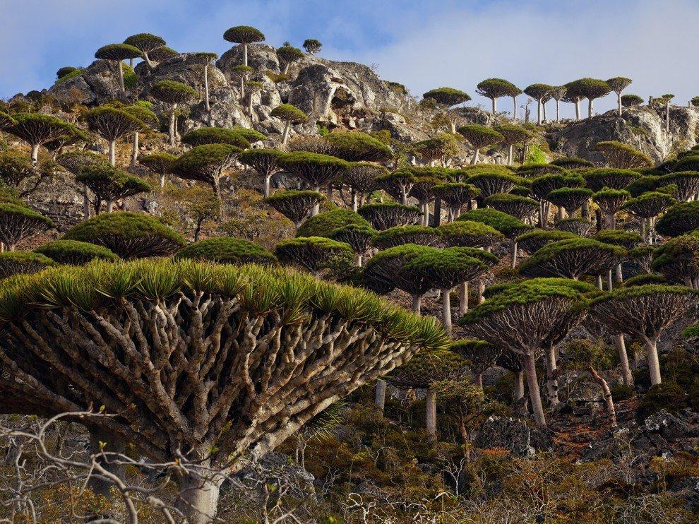 socotra-trees1