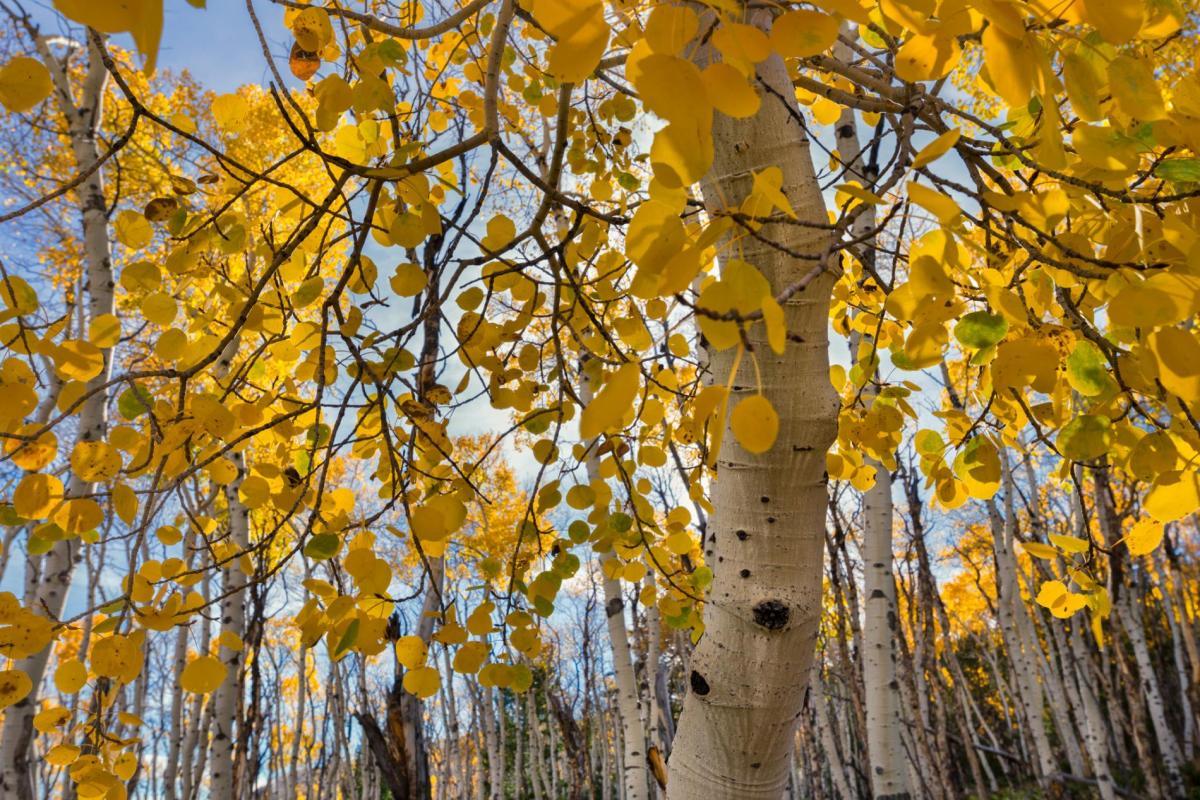 trees-birch-forest-america-yellow.adapt.1900.1